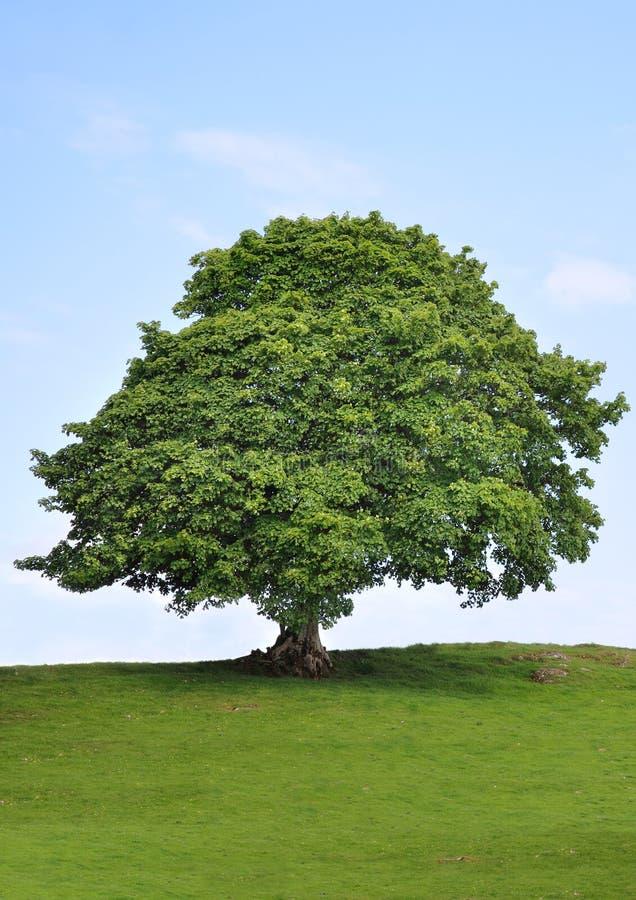 秀丽美国梧桐结构树 图库摄影