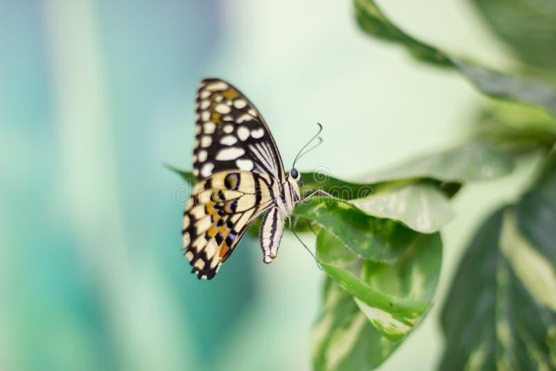 秀丽蝴蝶本质上 免版税库存图片