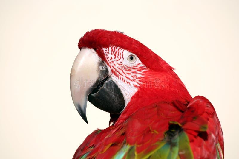 秀丽金刚鹦鹉猩红色 库存图片