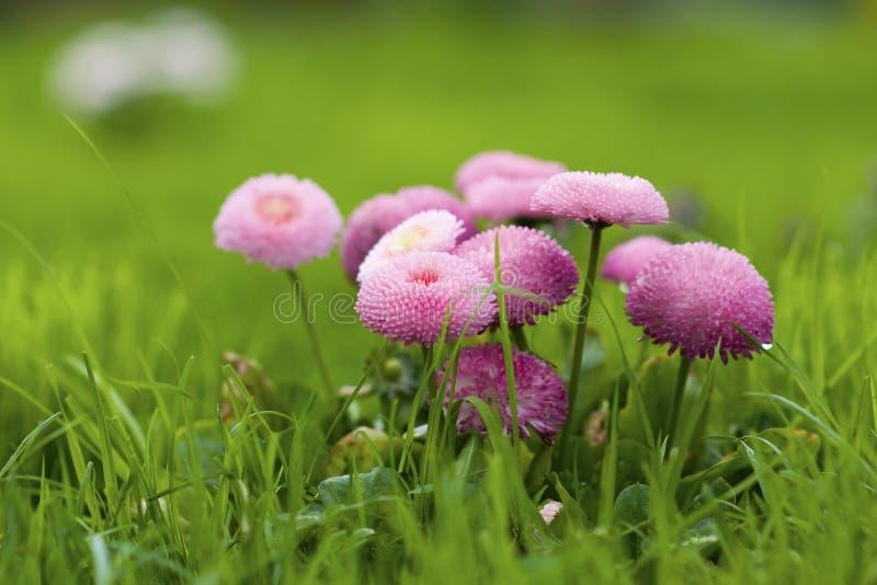 秀丽雏菊开花粉红色 免版税图库摄影