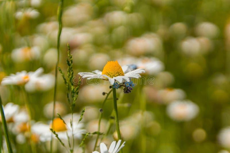 秀丽雪花夫人,在草甸的leucanthemum 免版税库存照片