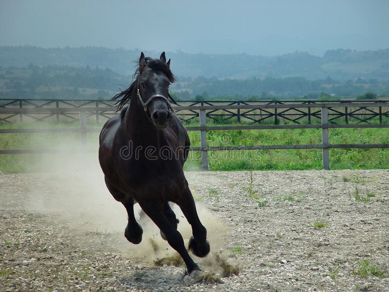 秀丽黑色马运行中 免版税库存照片