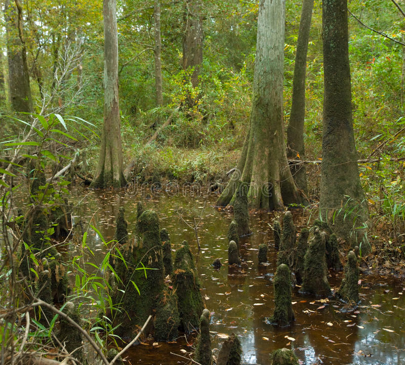 秃头大柏蜜饯沼泽得克萨斯丛林 库存照片