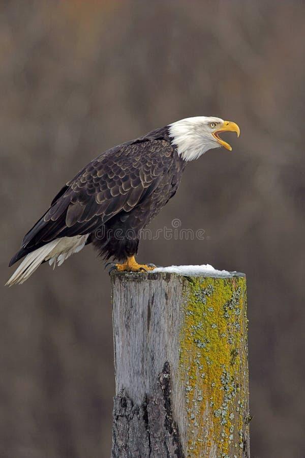 秃头叫的老鹰 免版税库存照片