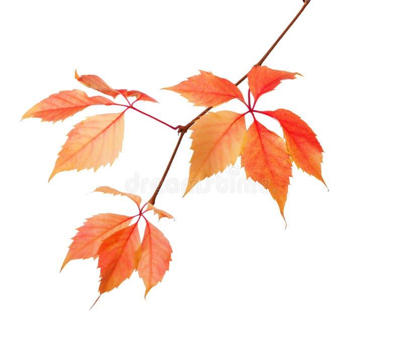 秋叶分支在白色背景隔绝的 Parthenocissus Quinquefolia 库存照片