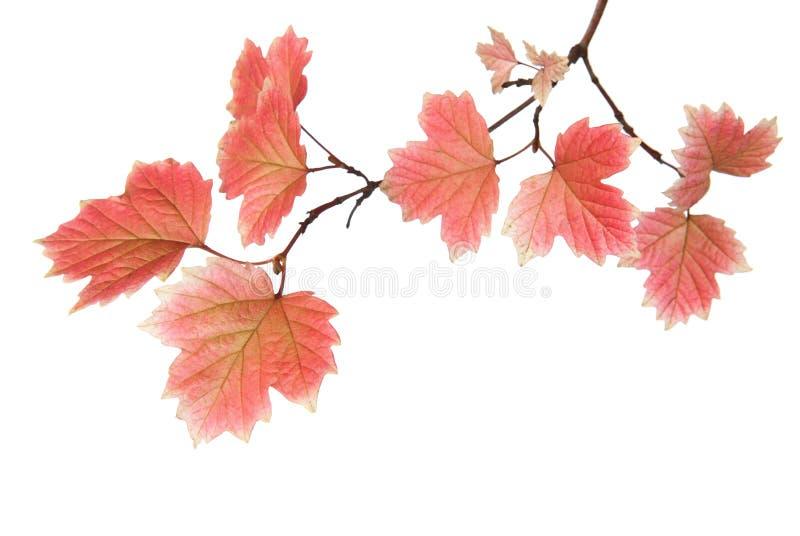秋叶分支  库存图片