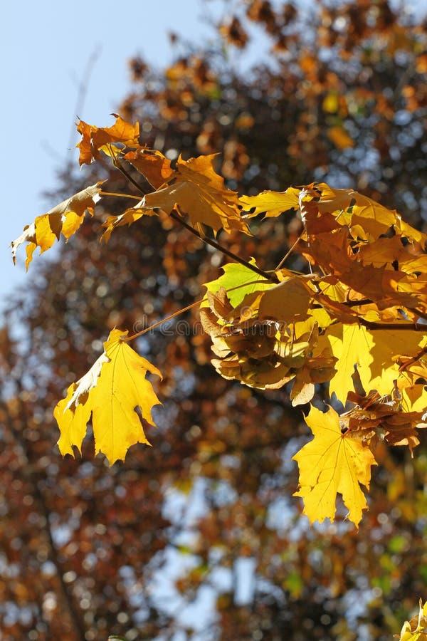秋叶叶子依靠跑的秋天枫叶 与黄色树和太阳的美好的秋天风景 在的五颜六色的叶子 库存图片