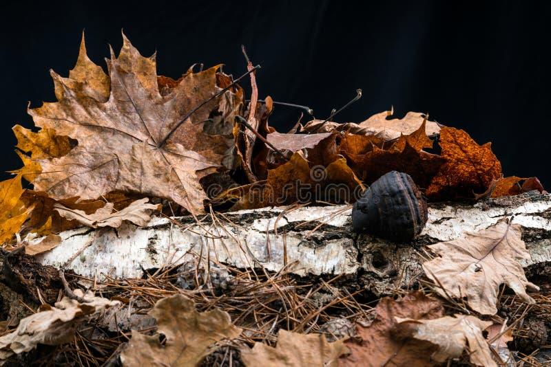 秋叶和桦树在黑背景的演播室 免版税图库摄影