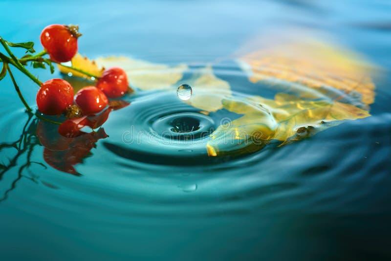 秋叶和野玫瑰果莓果起波纹的水表面上 库存图片