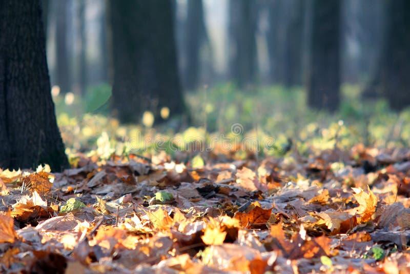 秋叶在一个晴朗的森林里 库存图片