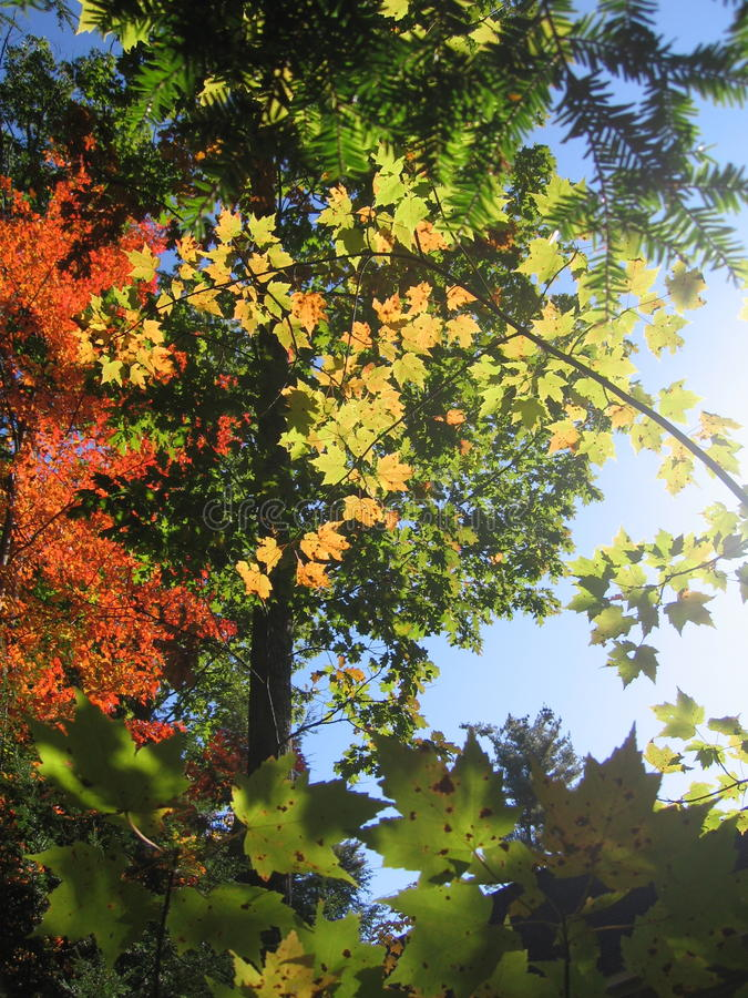 秋叶在缅因 图库摄影