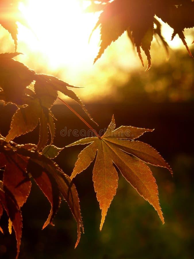 秋叶槭树日落 库存图片