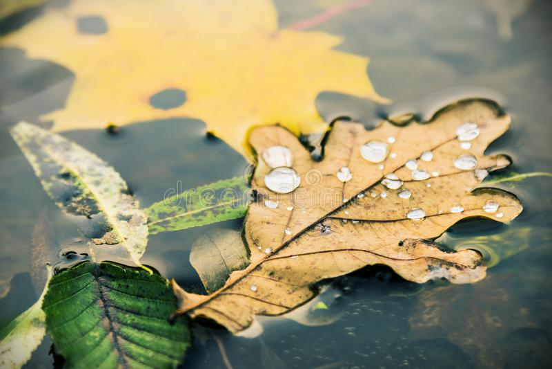 秋叶用水下降漂浮在湖的水中 免版税库存图片