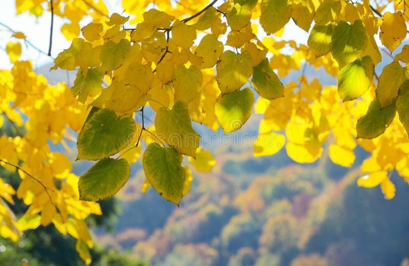 秋叶结构树 库存图片