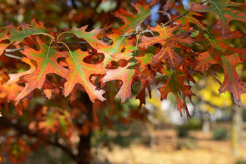 秋叶结构树 免版税图库摄影