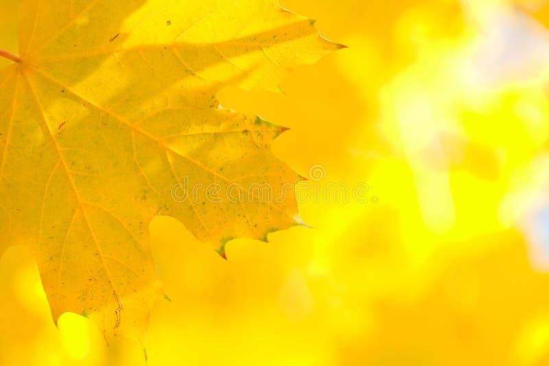 秋叶黄色 库存图片