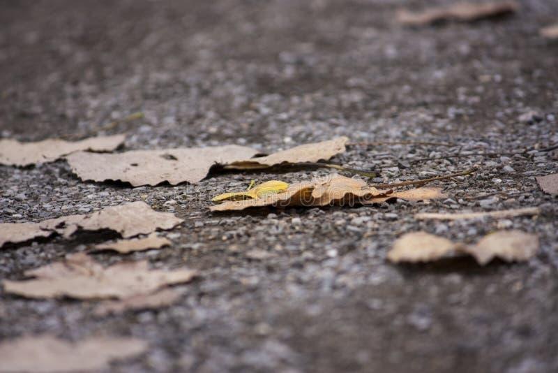 秋叶,在路的黄色叶子 免版税库存图片