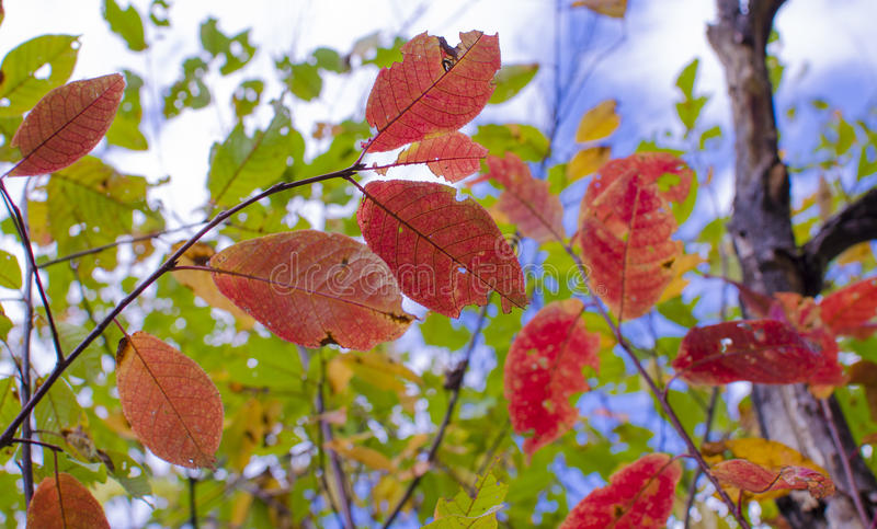 Download 秋叶 库存图片. 图片 包括有 天空, 背包, 9月, 黄色, 叶子, 红色, 绿色, 自治权, beautifuler - 59108087