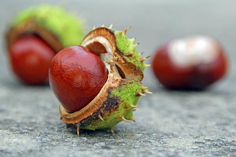秋天七叶树果实 库存图片