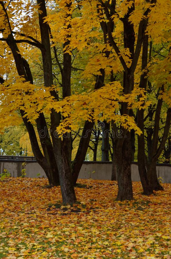 秋天上色了叶子槭树 免版税库存照片