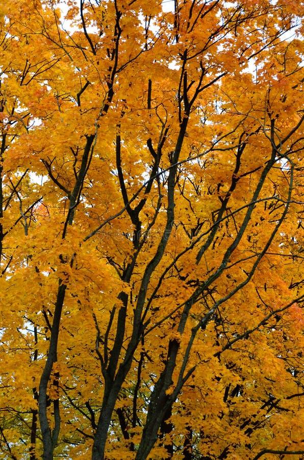 秋天上色了在树的叶子与黑树干 免版税图库摄影