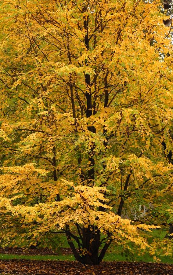秋天上色显示结构树的榆木 免版税库存照片