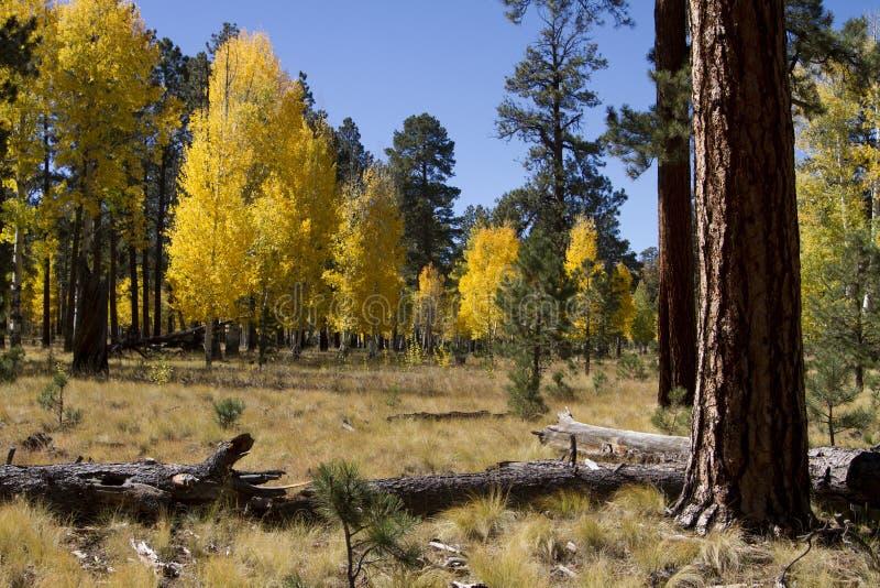 秋天上色森林叶子亚利桑那 库存照片