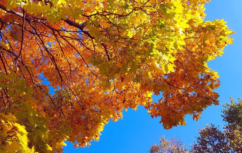 秋天与明亮的黄色叶子的槭树分支反对蓝天背景 免版税库存图片