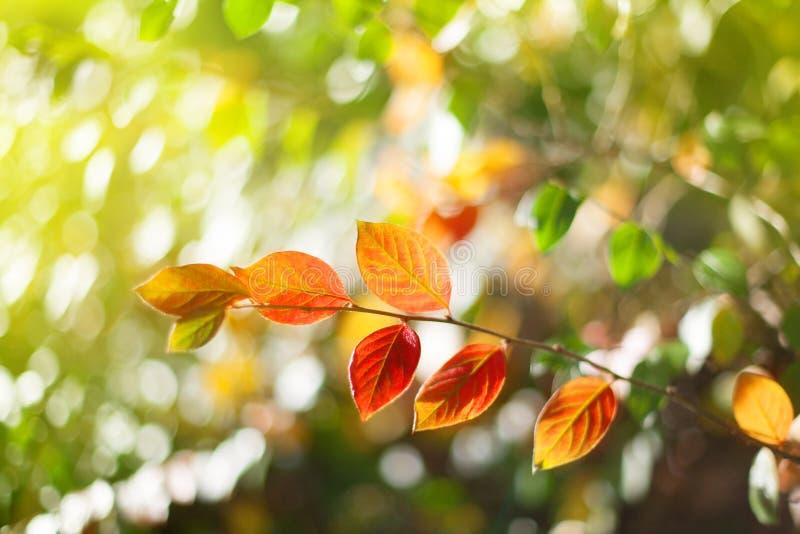 秋天与红色和黄色叶子的树枝在与太阳光,秋季自然摘要图象的被弄脏的bokeh背景 图库摄影