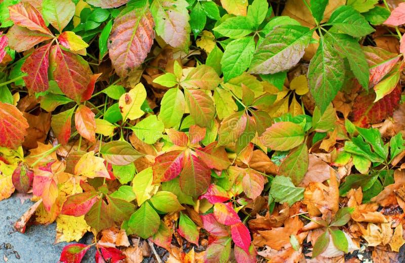 秋天五颜六色的叶子背景 免版税库存图片
