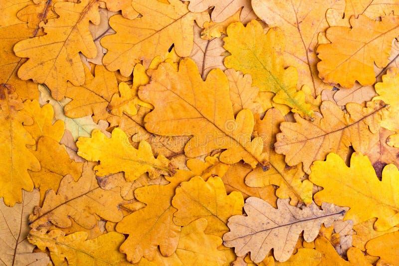 从秋天五颜六色的橡木叶子的背景 免版税库存照片