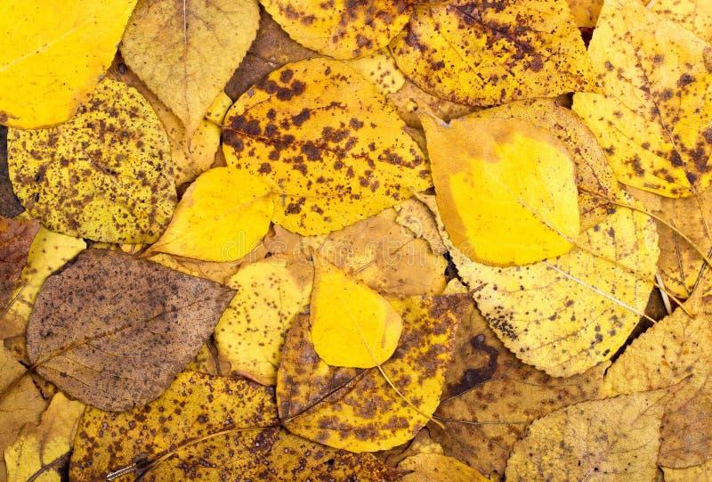 从秋天五颜六色的白杨木叶子的背景 免版税库存图片