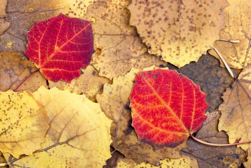 从秋天五颜六色的白杨木叶子的背景 免版税库存照片