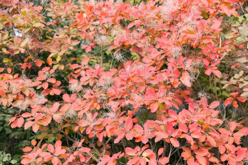 秋天五颜六色的红色叶子在槭树下,关闭 免版税图库摄影