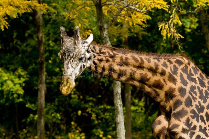 秋天五颜六色的长颈鹿场面 免版税库存图片