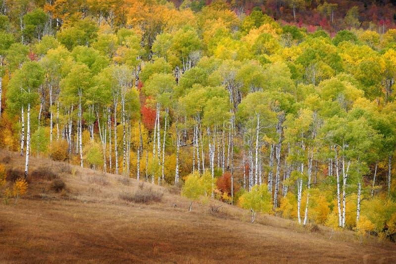 秋天亚斯本树落上色金黄叶子和白色红色树干的槭树 免版税库存图片