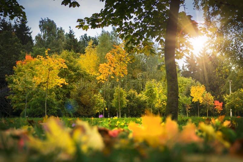 秋天公园的风景 多彩多姿黄色和红色在草、树和阳光离开 秋天 秋天背景特写镜头上色常春藤叶子橙红 库存图片