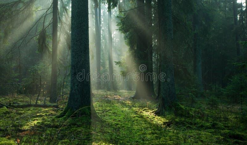 秋天具球果有薄雾的早晨立场 库存图片
