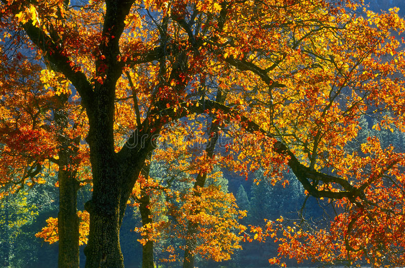 秋天加利福尼亚更改的叶子优胜美地 库存照片