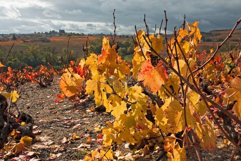 秋天博若莱红葡萄酒法国葡萄园 免版税库存图片