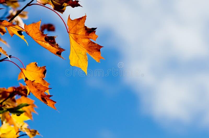 秋天反对天空的槭树叶子 库存照片