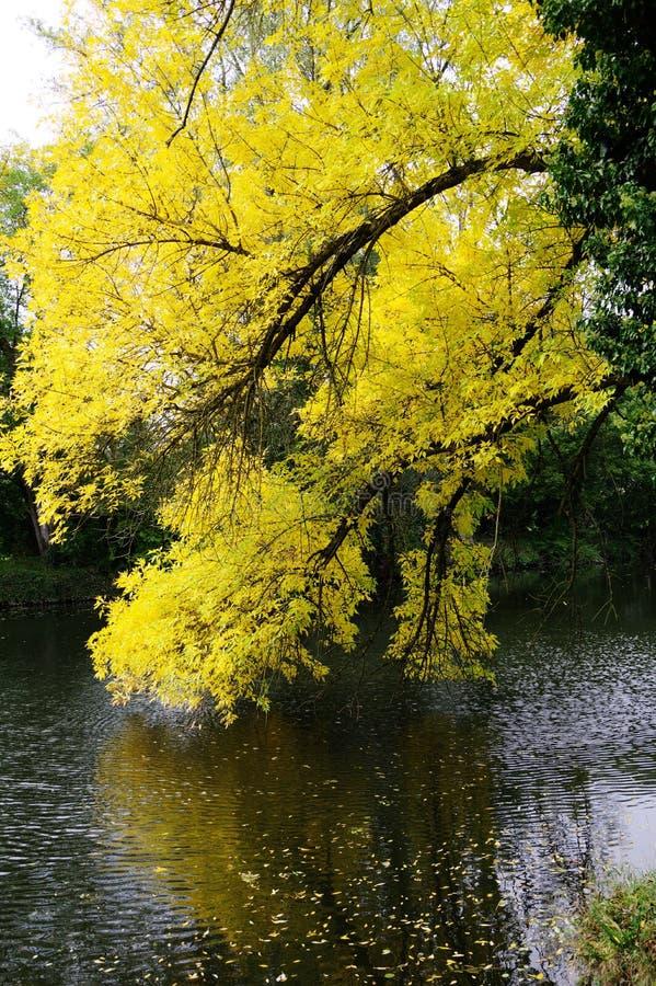 秋天叶子以明亮的黄色垂悬在河 免版税库存照片
