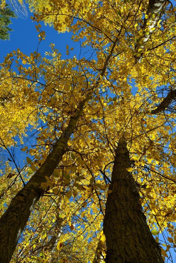 Download 秋天叶子向上透视01 库存图片. 图片 包括有 没人, 公园, 叶子, 平安, 树干, 本质, 黄色, 野餐 - 62525085