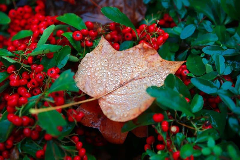 Download 秋天叶子和下落 库存图片. 图片 包括有 宏指令, 植物群, 干燥, 下落, 构成, 新鲜, 槭树, 背包 - 59100573