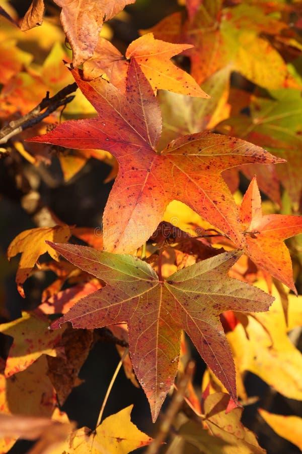 秋天叶子在东部得克萨斯 免版税库存照片