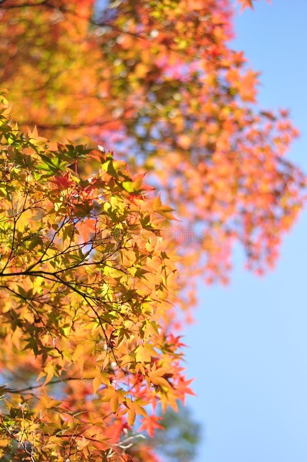 秋天叶子在京都,日本 库存图片