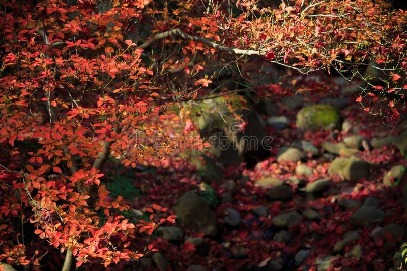 秋天叶子在Sankeien庭院里,横滨,神奈川,日本 免版税库存图片