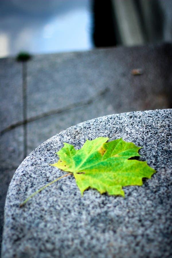 秋天叶子槭树,黄绿枫叶 免版税库存照片