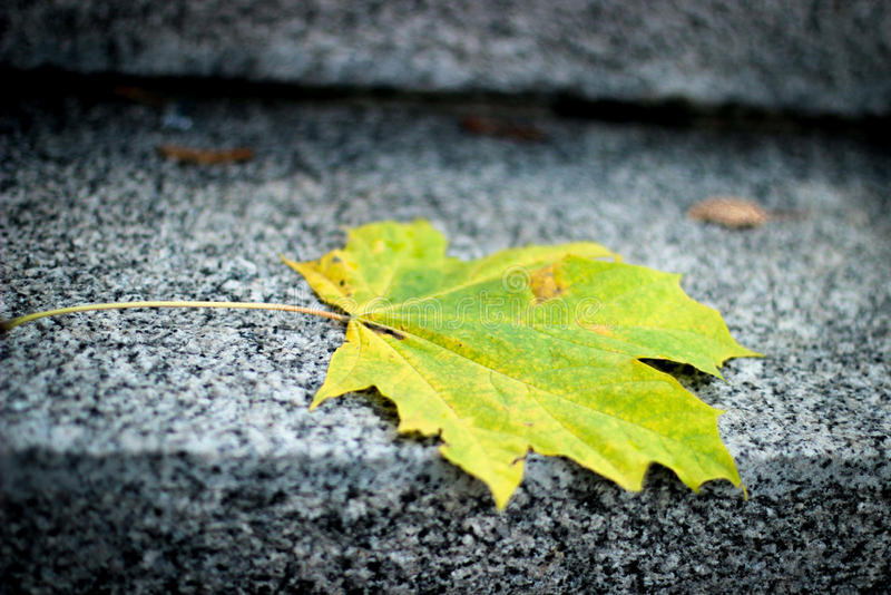 秋天叶子槭树,黄绿枫叶 库存图片
