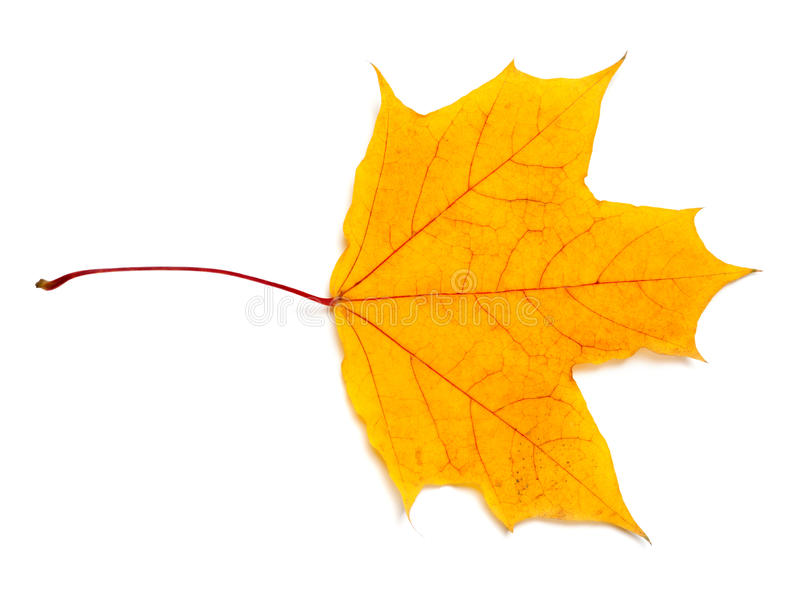 秋天叶子槭树黄色 免版税库存照片